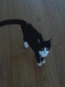 Cat looking for forever home Kingston Kingston Area image 1