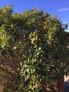 5x Miriase hedges for free and 1x fruit baring kumquat tree for $60 Enfield Burwood Area Preview