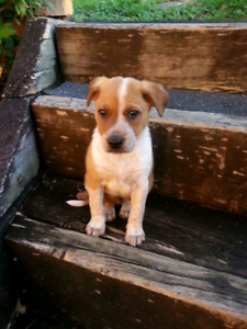 Puppy 13 weeks old male cattle cross border collie cross boxer Albion Park Shellharbour Area Preview