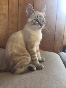 Ragdoll/Siamese kittens for sale