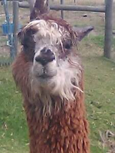 Alpaca wethers Toora South Gippsland Preview