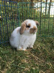 Four adorable purebred pedigreed holland lop baby bunnies