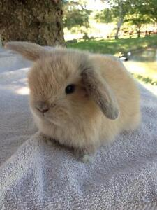 Baby Holland Lop Bunnies