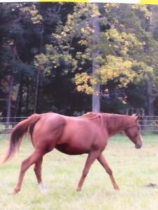 PART BOARDERS WANTED FOR TWO HORSES
