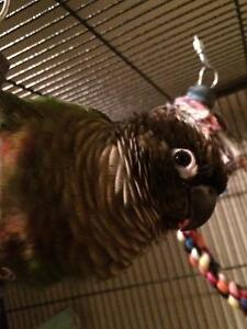 SOLD! Green Cheek Conure $200 for Conure $200 cage