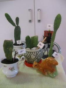 FIVE CHARMING LITTLE ARIZONA CACTI WINDOW-SILL HOUSE PLANTS