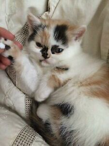 Exotic Shorthair kittens Delivery Early Saturday