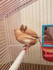 Selling quick: 2 Birds, a Cage + Extra Amendities only $70
