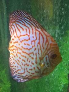 Adult Discus for sale