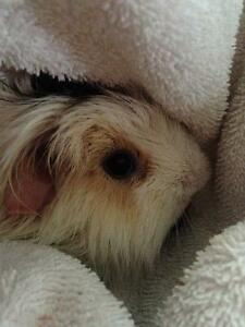 FREE Male Guinea Pig to Good Home