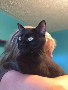 "Adult Female Cat - Domestic Short Hair-black: ""Taylor"""