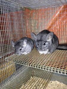 Chinchillas for sale - babies and adults. White mosaic.