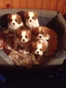 Cavalier King Charles Spanial Yarram Wellington Area Preview