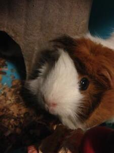 Two Guinea Pigs To A Good Home!