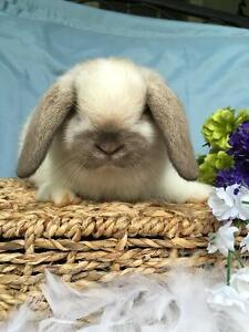 LAST ADORABLE AND FRIENDLY HOLLAND LOP FEMALE BABY FOR SALE