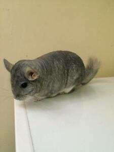 SAPPHIRE FEMALE CHINCHILLA MUST SELL