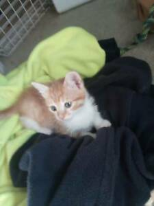 Tiny 8 Week Old Female Ginger Kitten ready for new home and family.