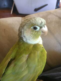 Wanted: Found Conure