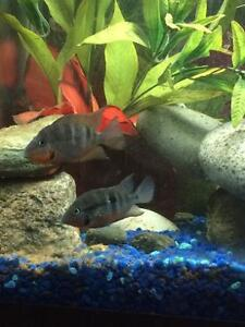 Firemouth cichlid babies for sale