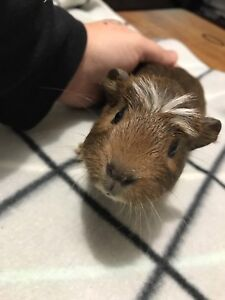 Baby guinea pig male Latrobe Latrobe Area Preview