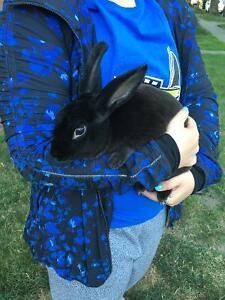 Rex Bunny