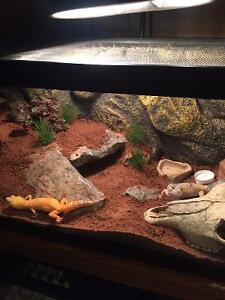 Leopard Gecko Pair with Cage Setup