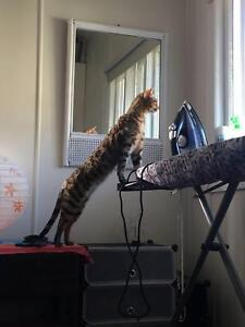 Lost Bengal Cat Greenslopes Brisbane South West Preview