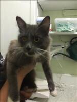 "Young Female Cat - Domestic Medium Hair: ""Porsche (tru)"""
