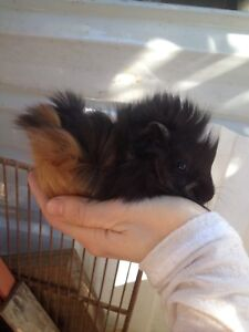 Beautiful baby Guinea pigs Wamberal Gosford Area Preview
