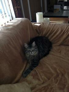 Still missing male tabby Chelsea qc Gatineau Ottawa / Gatineau Area image 1