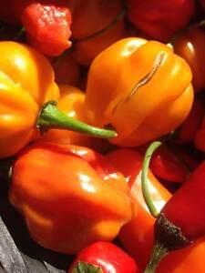 Butch T scorpion/ Carolina Reaper/ Ghost Pepper Seeds Windsor Region Ontario image 1