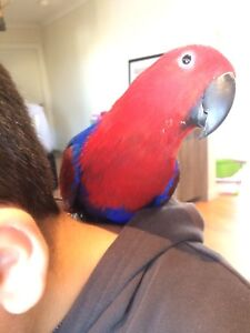Very friendly female eclectus 1 year old very talkative Riverstone Blacktown Area Preview