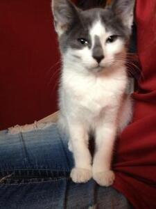 """Young Male Cat - Domestic Short Hair - gray and white: """"Gerald"""""""