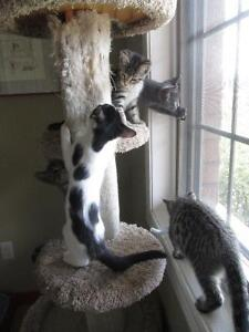 ♥ Kittens - spayed, microchipped, first set of vaccines