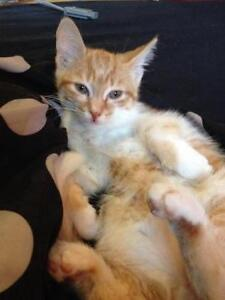 """Young Male Cat - Domestic Short Hair - orange and white: """"Benny"""""""