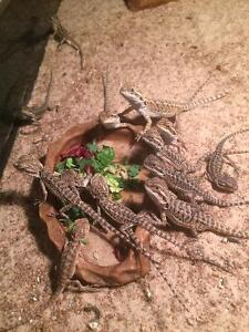 6 week old baby bearded dragons