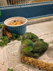 SUPER SWEET Parrotlet babies!