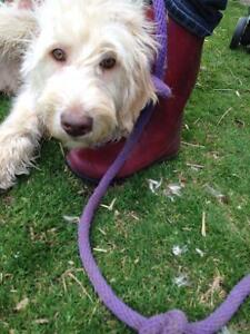 6 Month Old Labradoodle AVAILABLE 1 Male & 1 Female