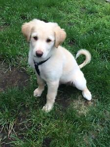 Lab cross puppy for sale