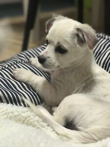 Cavalier King Charles x Chihuahua *Free Delivery* Uralla Uralla Area Preview