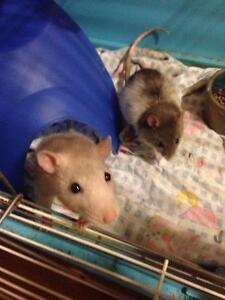 2 friendly female rats looking for a home