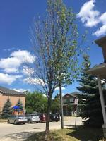 Small Tree Removal - Britannia Rd / Erin Mills Area Mississauga