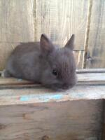 Tiny cute chocolate Netherland dwarf baby rabbit