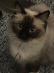 Purebreed female ragdoll seal mitted intact