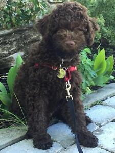 LAGOTTO ROMAGNOLO OF CANADA (Ducketts Truffieres) PUPPIES