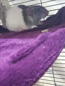 "Adult Female Small & Furry - Rat: ""Twister"""