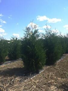 Black Cedars for sale! London Ontario image 1