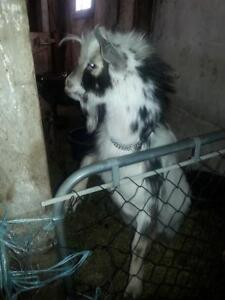 goat for sale SOLD
