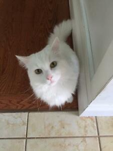 Handsome and affectionate white male cat for adoption!