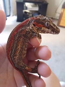 Female Red Stripe Gargoyle Gecko